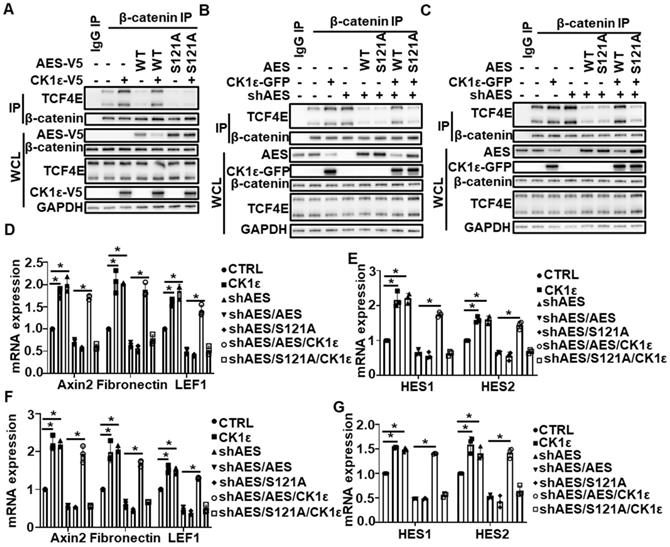 CSN6-FOXO4 axis regulates the expression of serine-glycine