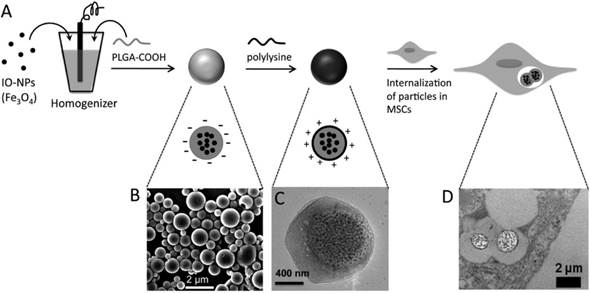 Superparamagnetic Iron Oxide Nanoparticles As Mri Contrast
