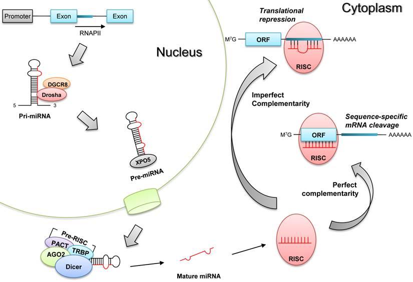 In Vivo Monitoring Of Microrna Biogenesis Using Reporter
