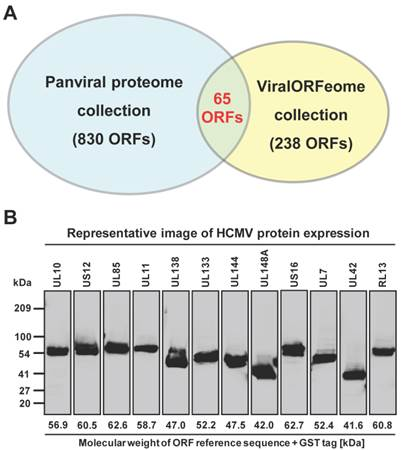 Discovery of Potential Diagnostic and Vaccine Antigens in Herpes Simplex Virus 1 and 2 by Proteome-Wide Antibody Profiling 2