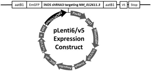 autoregulation of inducible nitric oxide synthase