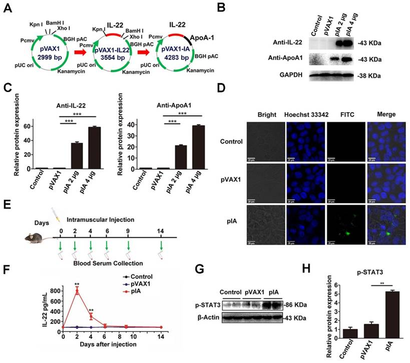 Tethering Interleukin-22 to Apolipoprotein A-I Ameliorates