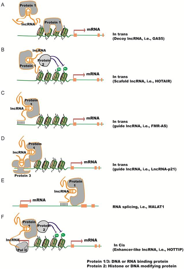 Angio-LncRs: LncRNAs that regulate angiogenesis and vascular