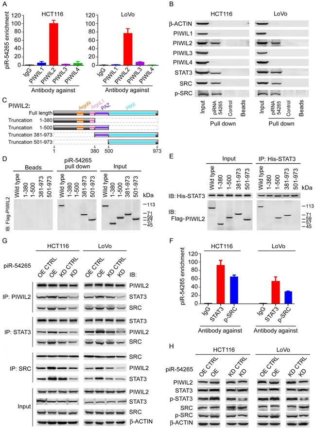 piwi interacting rna 54265 is oncogenic <strong>and</strong> a potential