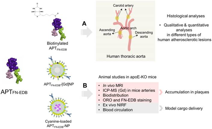Nanoparticles targeting extra domain B of fibronectin
