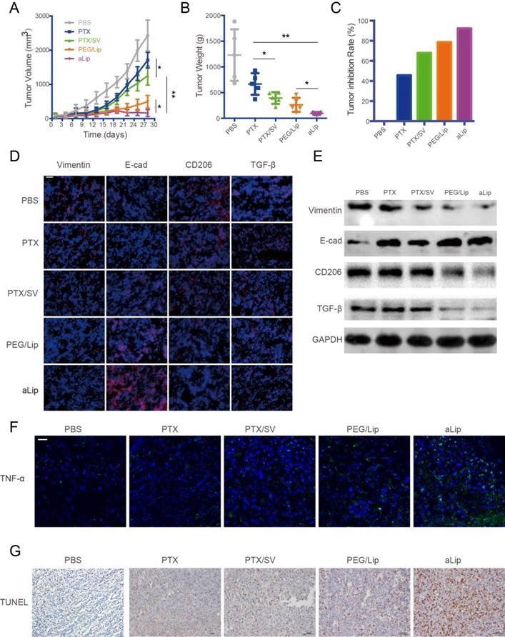 Metformin Sensitizes EGFR-TKI-Resistant Human Lung Cancer