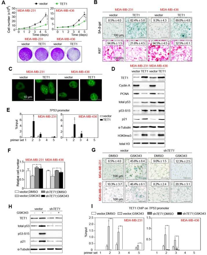 Epigenetic Co-Deregulation of EZH2/TET1 is a Senescence-Countering