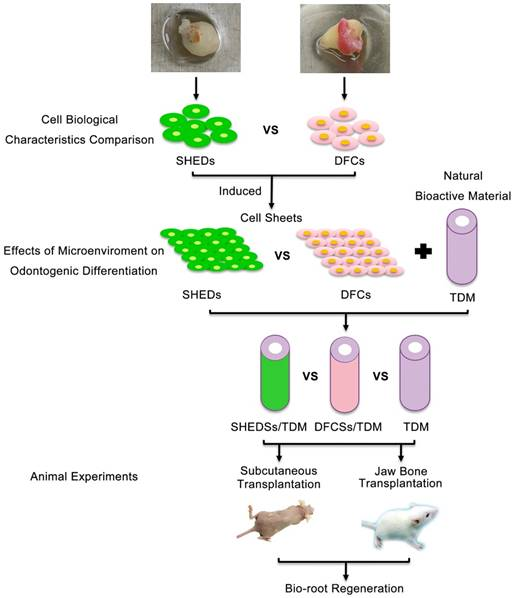 Stem cells from human exfoliated deciduous teeth as an