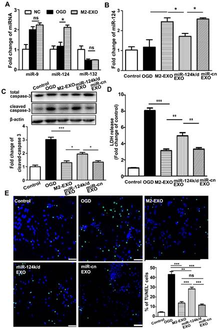 M2 microglia-derived exosomes protect the mouse brain from ischemia