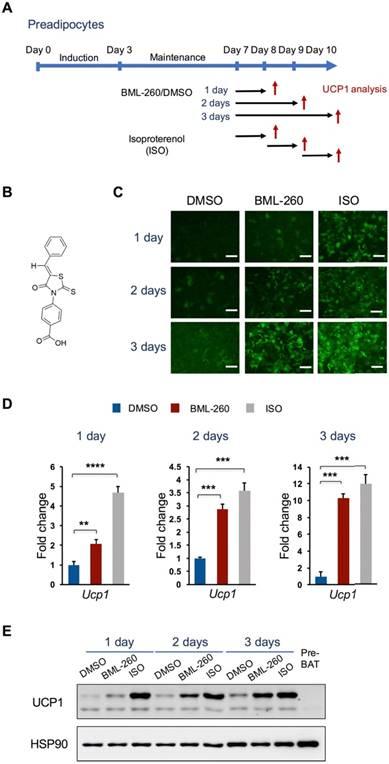 Identification of a rhodanine derivative BML-260 as a potent