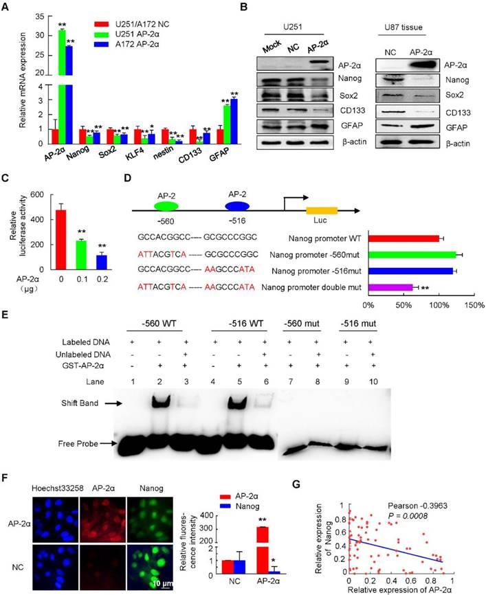 The miR-26a/AP-2α/Nanog signaling axis mediates stem cell
