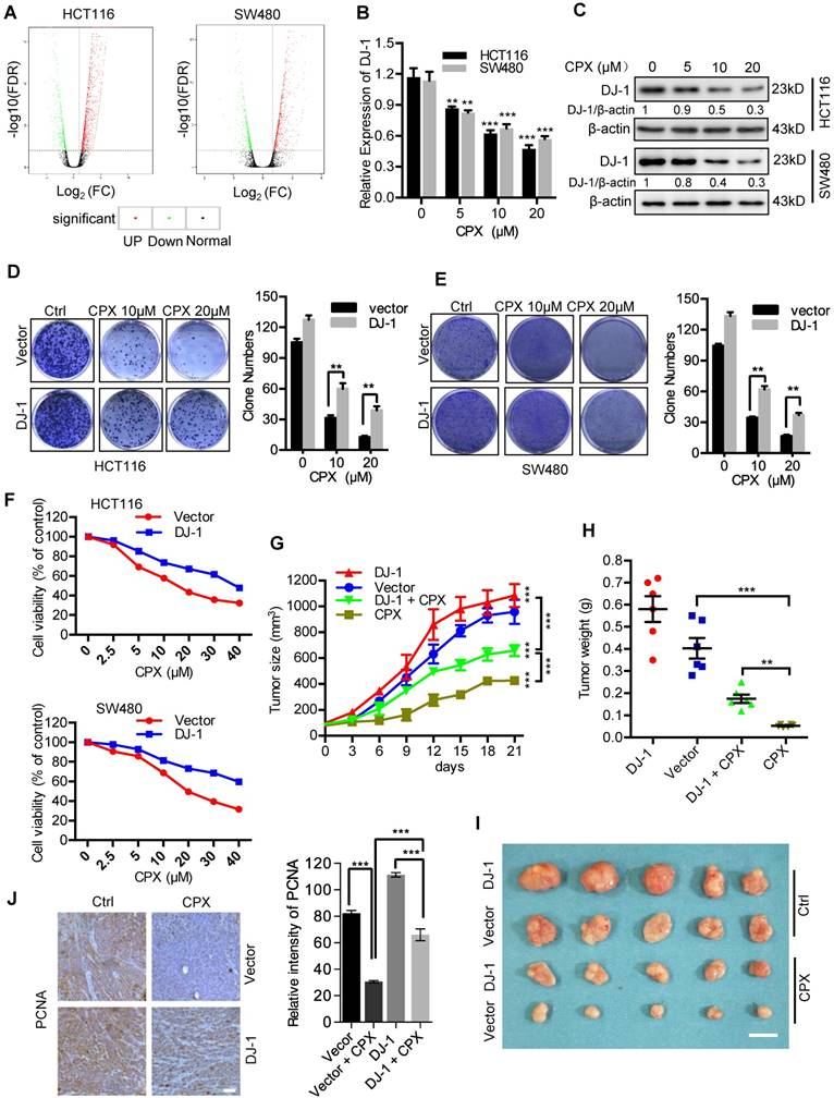 CPX Targeting DJ-1 Triggers ROS-induced Cell Death and Protective