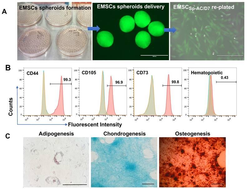 Transplantation of human ESC-derived mesenchymal stem cell