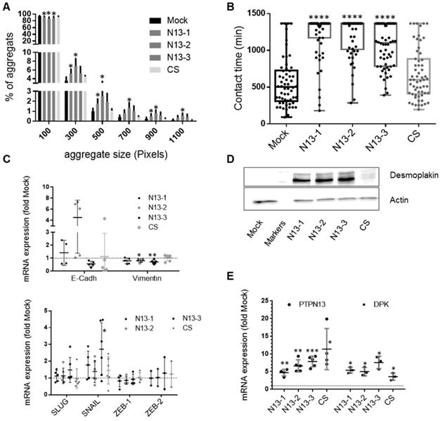 PTPN13 induces cell junction stabilization and inhibits