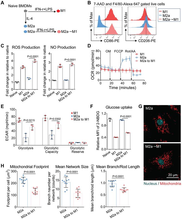 Imaging Of Macrophage Mitochondria Dynamics In Vivo Reveals